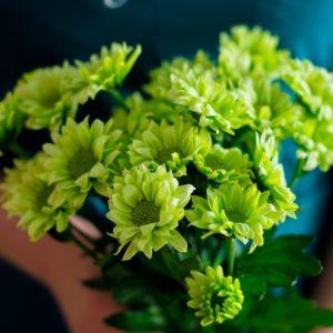 Хризантема кустовая зеленая